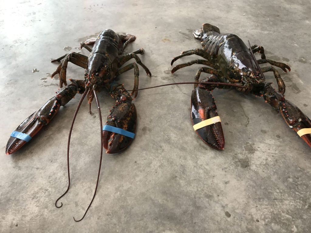 freshies lobster
